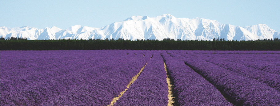 lavender fields NZ